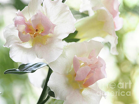Double Snapdragons On A Crisp Spring Day 2 by Dorothy Lee
