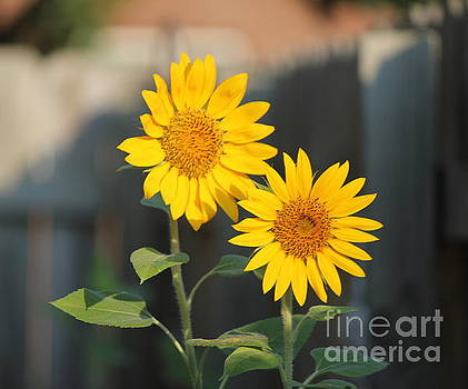 Double Sunflowers 2  by Sheri LaBarr