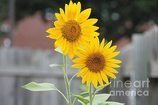 Double Sunflowers by Sheri LaBarr