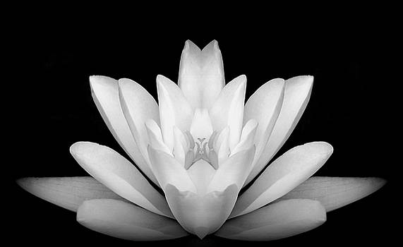 Double Water Lily by Kerry Hauser