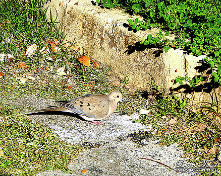 Dove  #9225 by Barbara Tristan