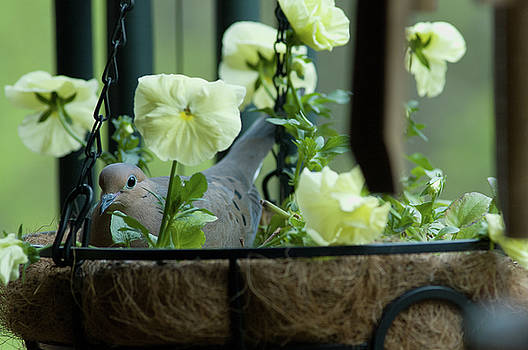 Dove, Hanging Basket, Balcony Garden, Hunter Hill, May 1, 2008 by James Oppenheim