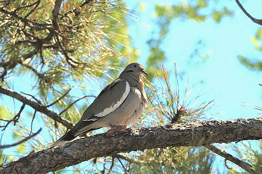 Dove in Pine Tree by Sheila Brown