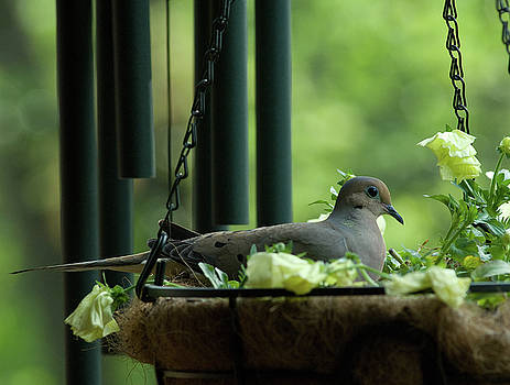 Dove Nesting, Balcony Garden, Hunter Hill, Hagerstown, Maryland, by James Oppenheim