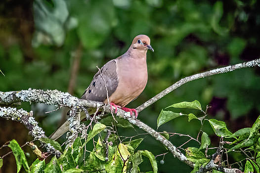 Dove On A Branch by John Benedict