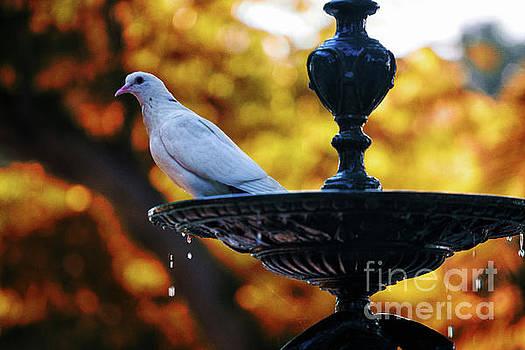 Dove on Fountain Genovese Park Cadiz Spain by Pablo Avanzini