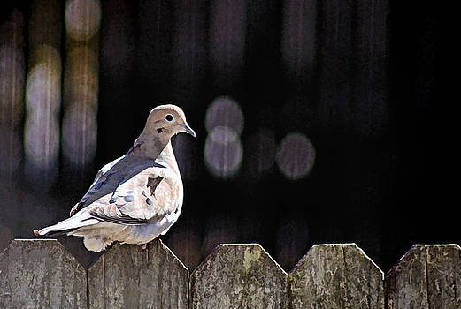 Dove On the Fence by Carolyn Ricks