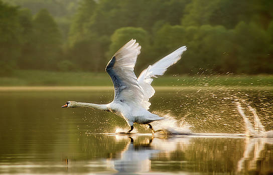 Dove-starting by Swen Stroop