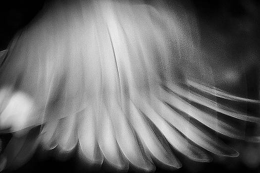 Dove Wings in Flight by Roland Peachie