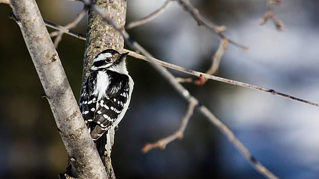 Dan Traun - Downy Woodpecker