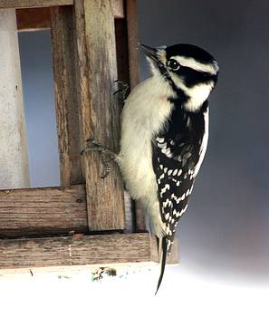 Downy Woodpecker by Diane Merkle