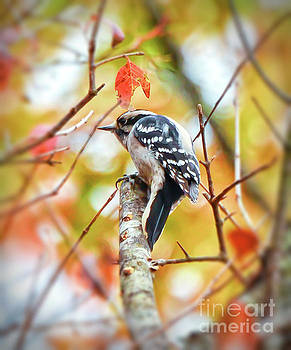 Downy Woodpecker in Autumn Forest by Kerri Farley