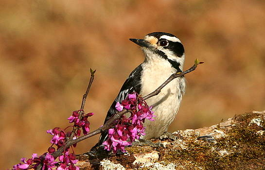 Downy Woodpecker in Spring by Sheila Brown
