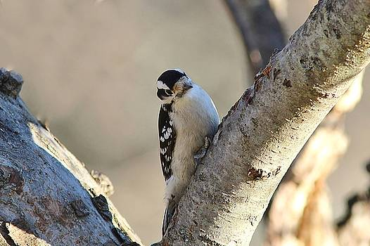 Downy Woodpecker on a limb by Linda Crockett