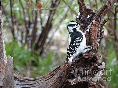 Downy Woodpecker by Rebecca Overton