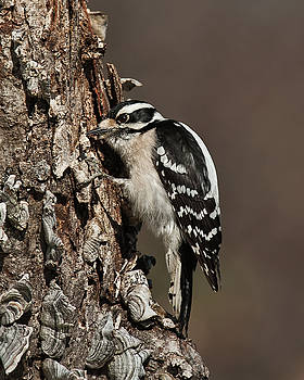 Lara Ellis - Downy Woodpecker