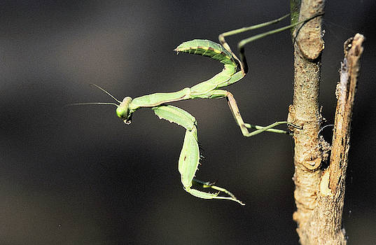Praying Mantis  by Manjot Singh Sachdeva