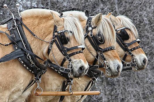 Cynthia Traun - Draft Horse