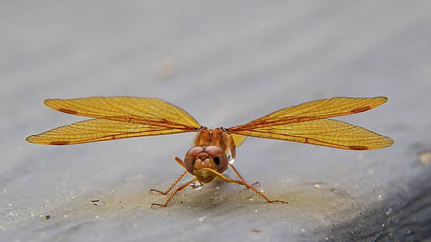 Dragon Fly Hanging Around by Darryl Hendricks