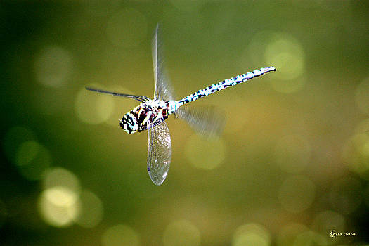 Nick Gustafson - Dragon fly in flight