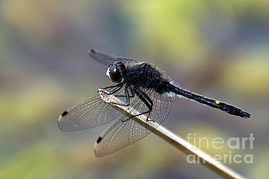Dragon Fly by Irfan Gillani