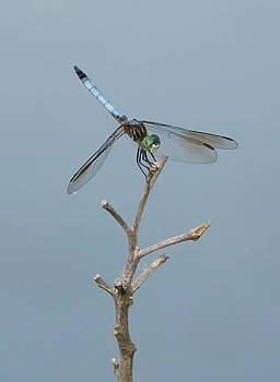 Dragon Fly by Jack Nevitt