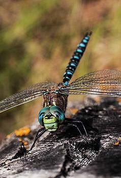 Dragon Fly by Melanie Janzen