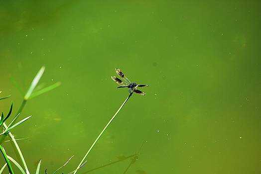Dragon Fly by Peter  McIntosh