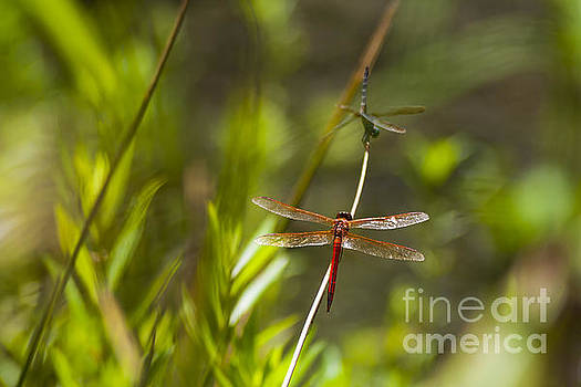Dragonflies by Sharon Foelz