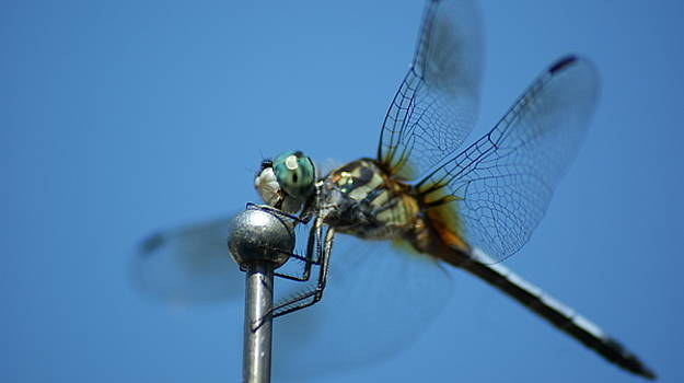 Dragonfly 2 by Maria  Wall