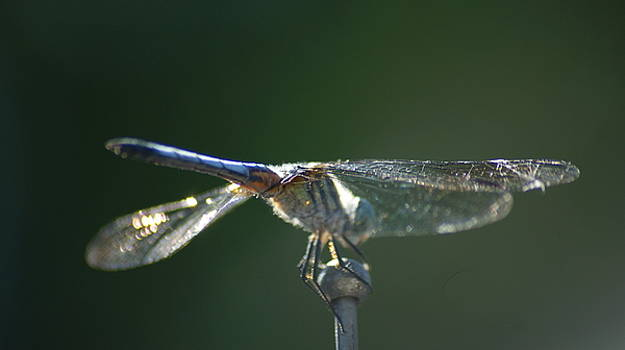 Dragonfly 4  by Maria  Wall