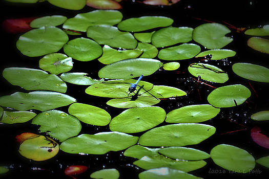 Dragonfly Among the Lily Pads by Tara Potts