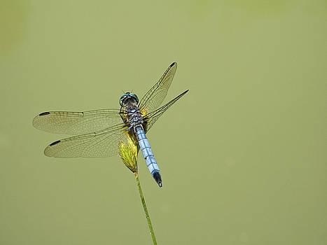 Dragonfly by Andrew Kazmierski
