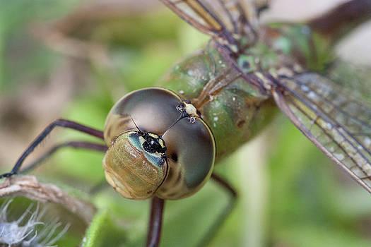 Paul Rebmann - Dragonfly Bull