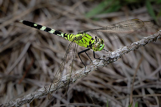 Dragonfly by Charles LeRette