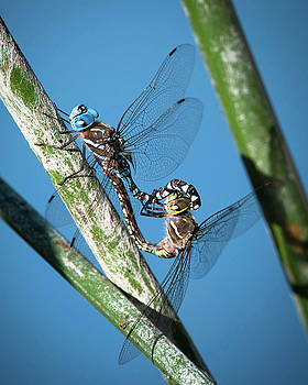 Dragonfly Couple 2 by Catherine Lau