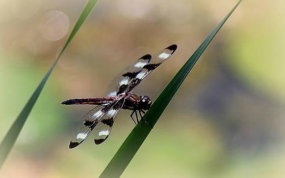 Rosanne Jordan - Dragonfly Dance