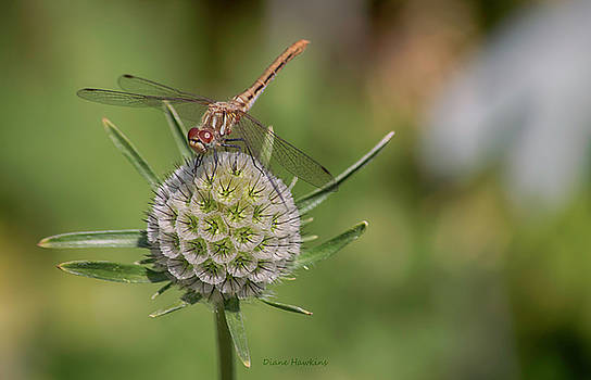 Dragonfly by Diane Hawkins
