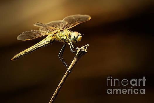 Dragonfly by Dimitar Hristov