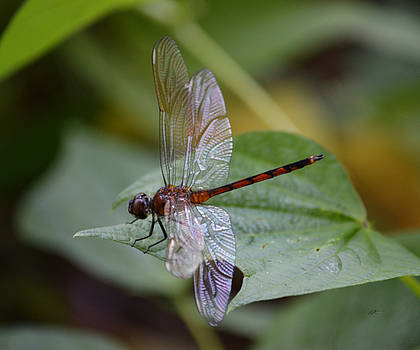 Dragonfly - Four Spotted Pennant by rd Erickson