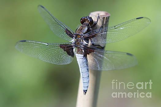 Dragonfly by Geraldine Jane Ramos-Bittenbinder