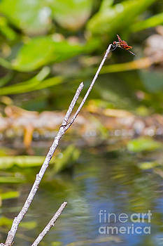 Dragonfly Hangs On in Breeze by Natural Focal Point Photography