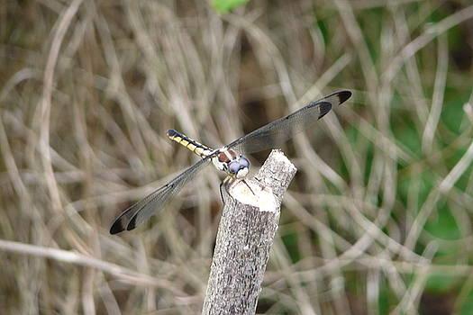 Dragonfly I by Kathy Schumann