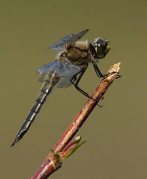 Dee Carpenter - Dragonfly in Alaska