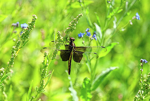 Dragonfly in garden flowers by Ronda Ryan