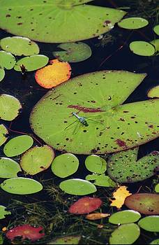 Dragonfly in Swamp by May Photography