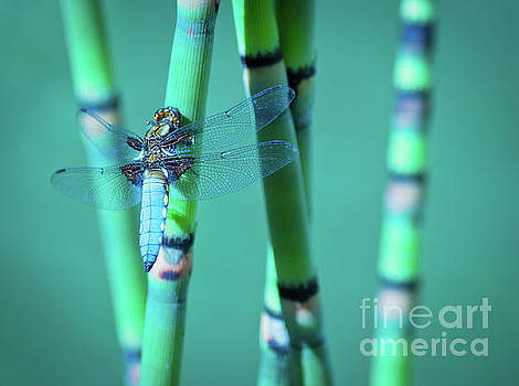 Dragonfly in the Reeds by Beth Riser