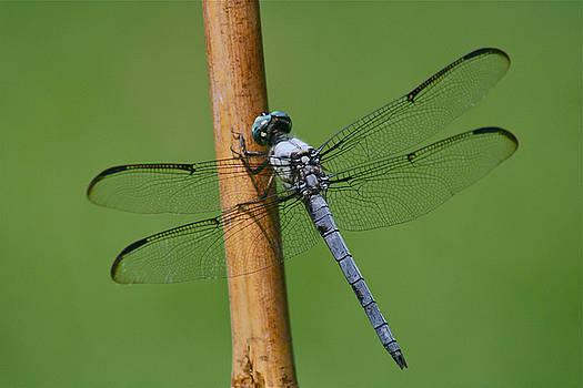 Dragonfly by Kaitlin VanGorder