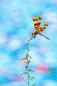 Dragonfly by Lorella Schoales