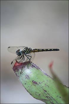 Dragonfly by Mandy Shupp
